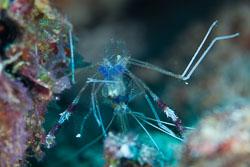 BD-150426-Maldives-8820-Stenopus-hispidus-(Olivier.-1811)-[Banded-coral-shrimp].jpg